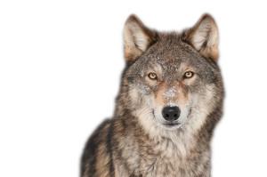 15 wolf photo